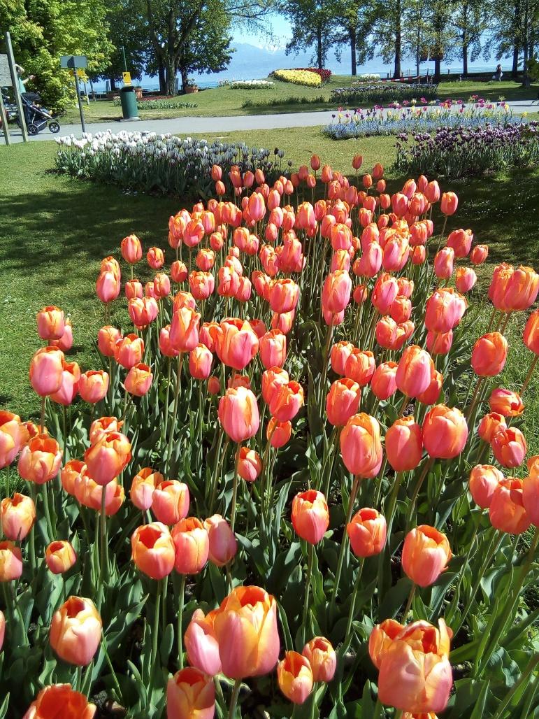 tulips6